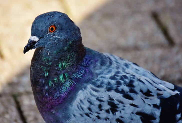 close-up photography of rock pigeon