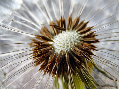 shallow focus photography white and brown dandelion flower