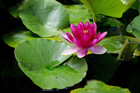 pink waterlily in bloom at daytime