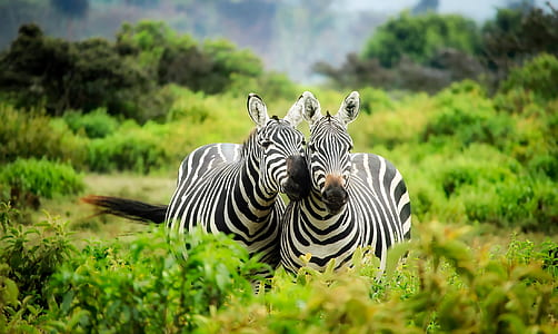 two zebras selected photography