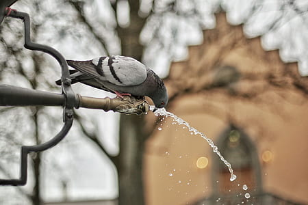 A Close Up Photograph of a Grey and Black Bird Drinking a Water