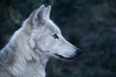 micro lens photo of white wolf