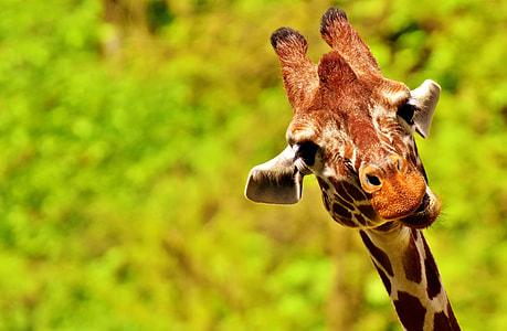 selective focus photo of brown giraffe