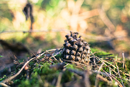Pine Cone in Forest