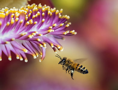 honeybee hovering in front of purple petaled flower closeup photography