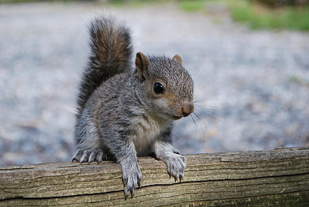 shallow focus photography of gray and brown squirrel on brown wood