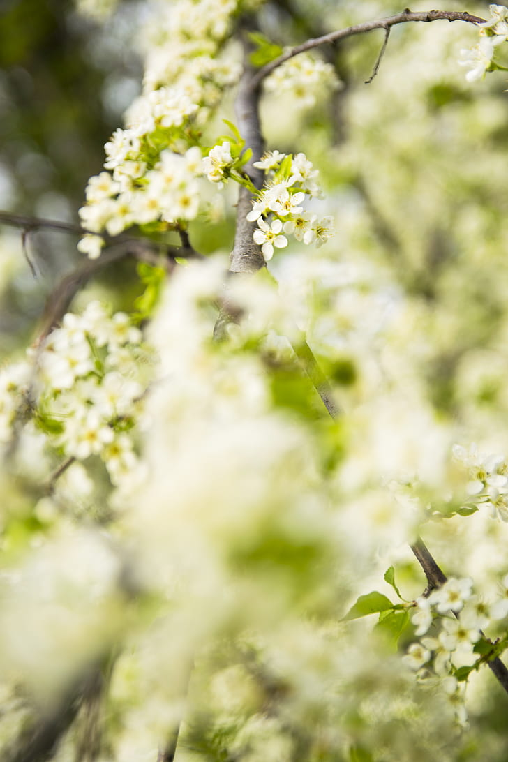 cherry blossom tree, spring, landscape, flower, green