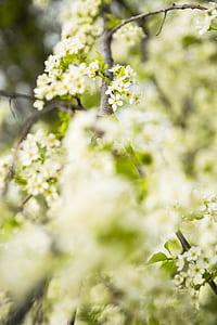 cherry blossom tree, spring, landscape, flower, green