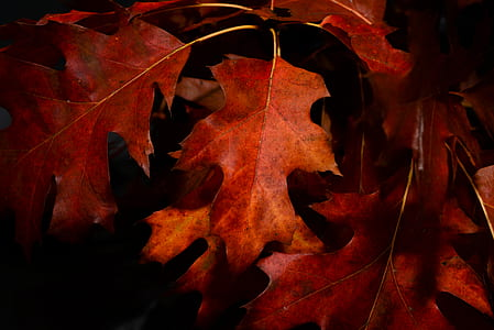 Close-Up Photography of Maple Leaves