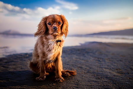 adult ruby-colored Cavalier King Charles spaniel