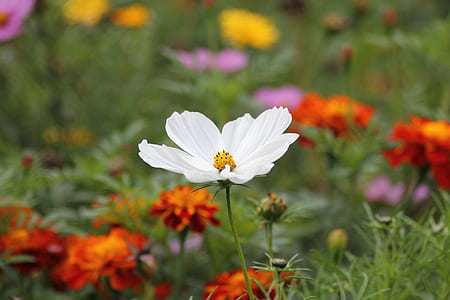 selective focus photography of white cosmos flower