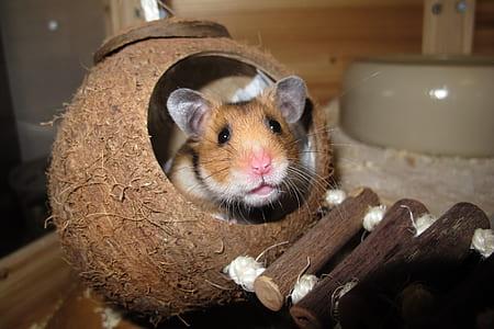 hamster inside coconut shell