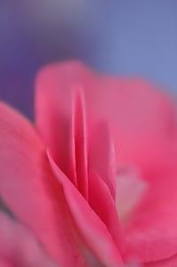 rose, petal, pink, petal of a rose, flower, macro