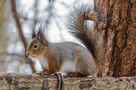 brown and white squirrel