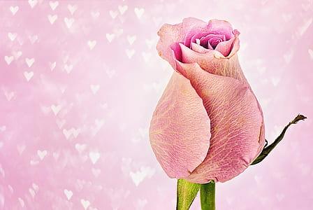 pink rose graphic wallpaper