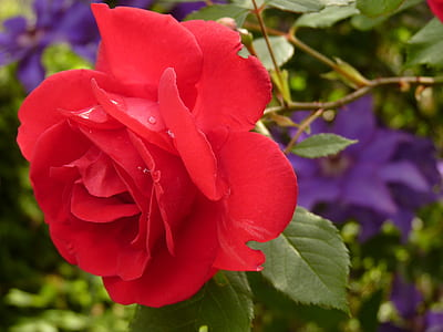 close up photography red rose