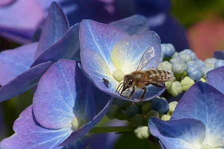 honeybee sipping purple petaled flowers nectar
