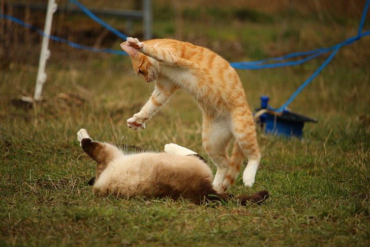 Siamese and orange tabby cats playing on green grass