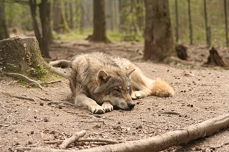 fawn wolf laying beside tree trunk