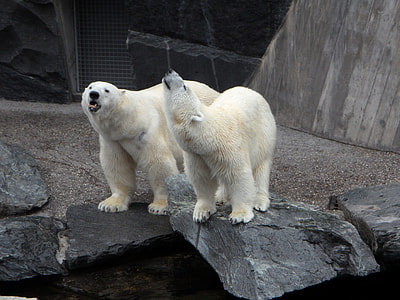 two polar bears in park