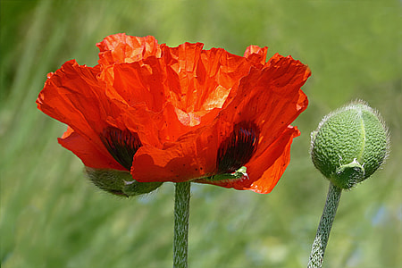red poppy flower and bud selective-focus photo