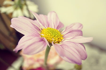 shallow focus photography of pink daisy