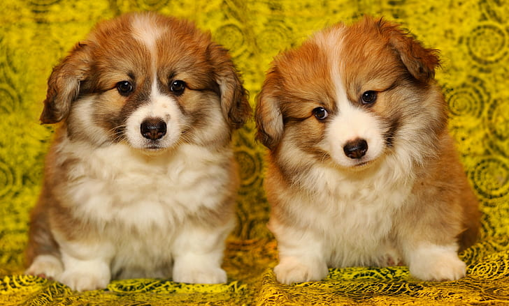 two short-coated brown-and-white puppies