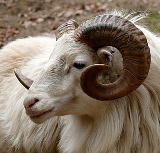 white sheep ram close up photo