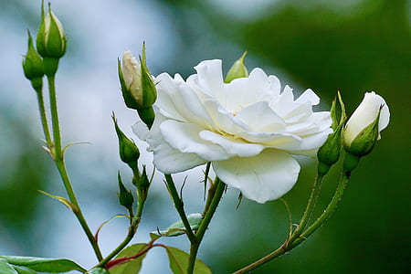 white roses in bloom at daytime