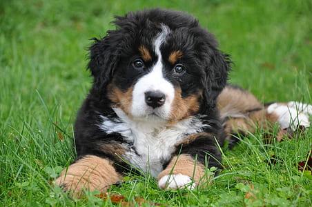 closeup photo of Bernese mountain dog puppy lying on grass field