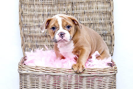 brown and white English bulldog puppy on brown wicker basket