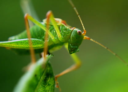 Green Grasshopper Close Up Photo