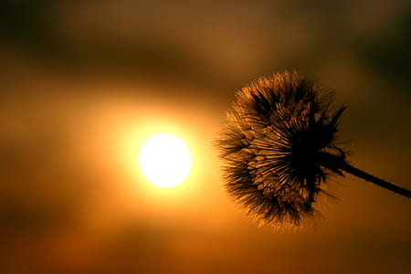 dandelion flower during sunset