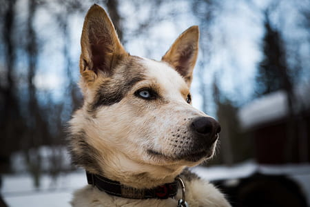 closeup photography of short-coated gray and white dog
