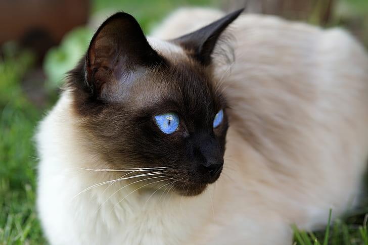 brown Siamese cat