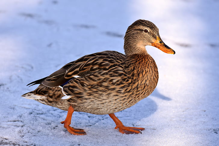 brown duck walking on snowfield