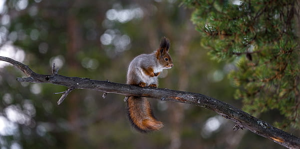 photo of brown and gray squirrel