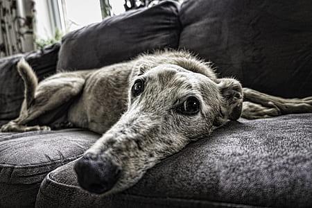 closeup photo of brindle large dog
