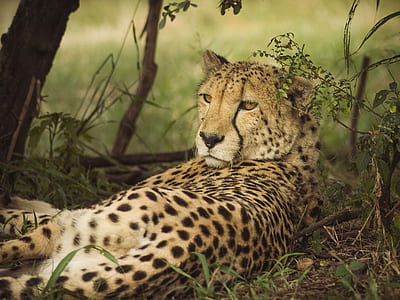 Cheetah lying on land