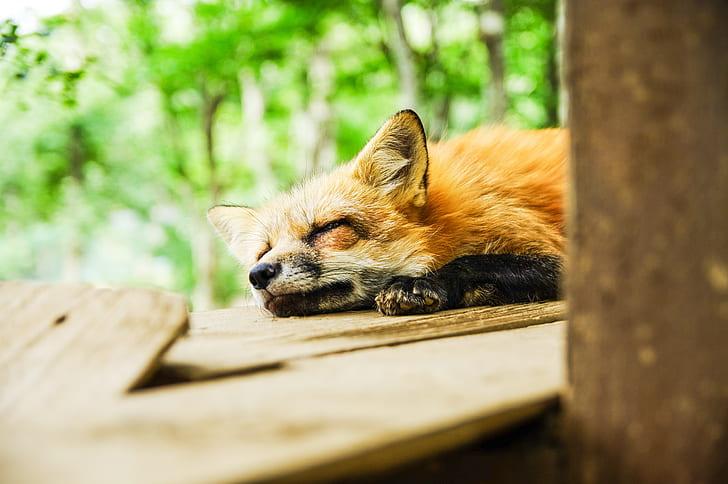sleeping brown fox