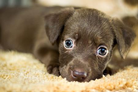 close up photo of black Labrador Retriever puppy