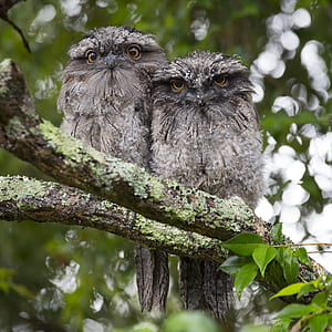 two gray owls on tree