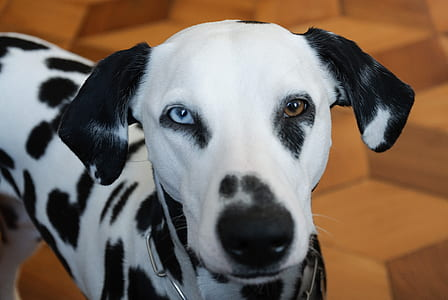 shallow focus of white and black Dalmatian