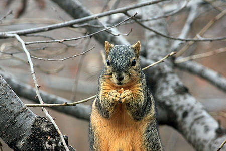 gray and orange squirrel on branch of tree