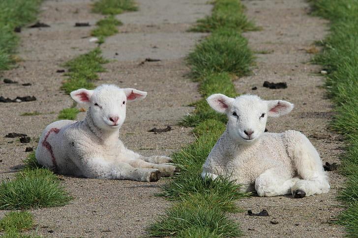 two white goat kids