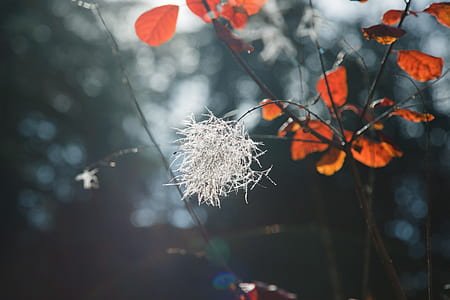 close up photograph of red leaf tree with white flower