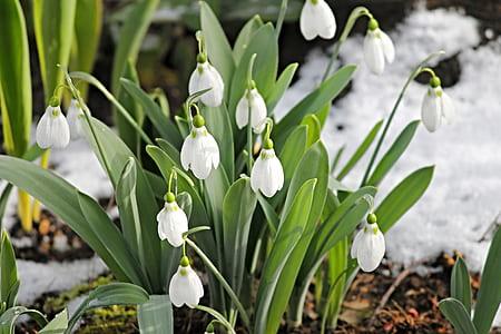 white snowdrop flower during daytime