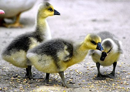 three yellow-and-gray ducklings