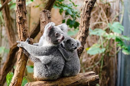 two koalas on wood branch