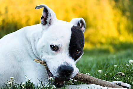 short-coated white and black dog biting on stick